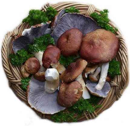 Stropharia-in-basket