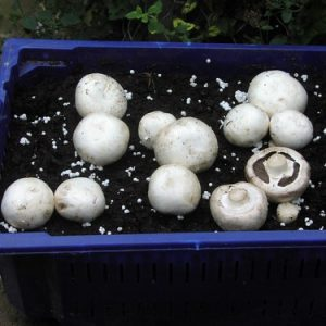 Ann Miller's Speciality Mushrooms | Oyster Grain Spawn